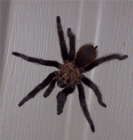 Tarantula on side of house